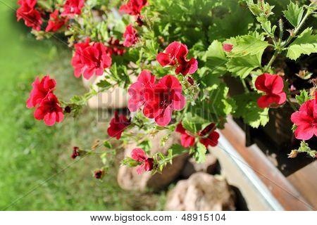 pelargonium flowers in a windowbox