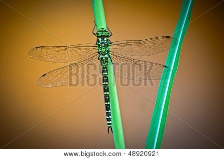 dragonfly Aeshna cyanea green hawker dragon fly a European large insect predator beautiful small animal