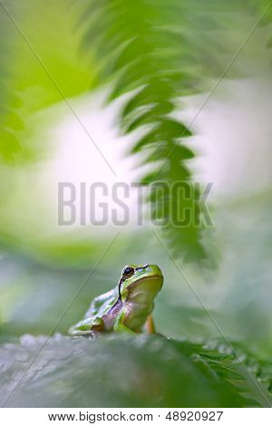 tree frog Hyla arborea hiding between green fern leafs beautiful small amphibian. This European treefrog portrait is shot with shallow DOF