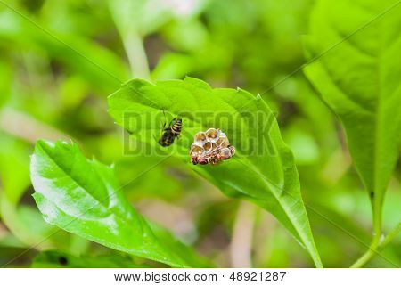 Wasp's Nest On Green Leaf