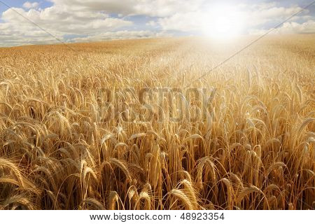 Sun Over A Wheat Field