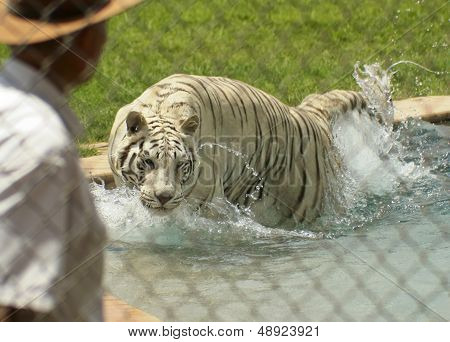 A White Tiger Performs With Its Trainer