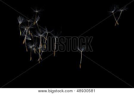 Dandelion Seeds Floating Free