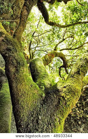 Moss-covered tree at El Hierro island, Canaries