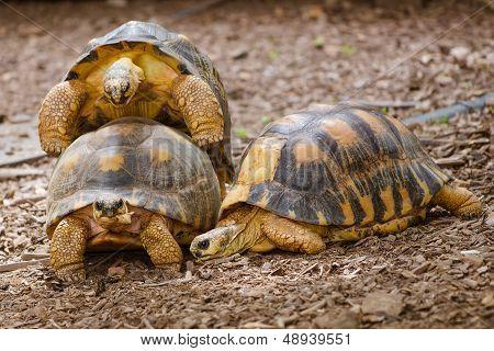 Radiated tortoises mating (Astrochelys radiata)