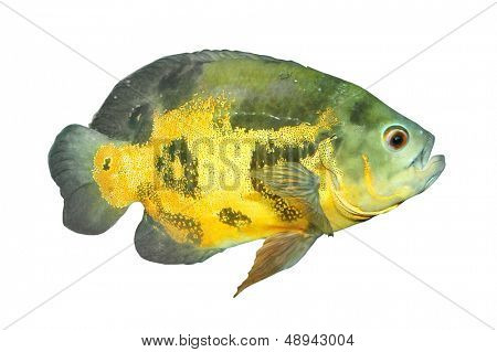 Tropical fish isolated on a white background. The Oscar (Astronotus ocellatus).