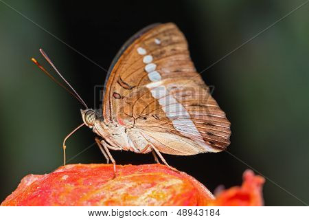 Redtail Marquis Butterfly