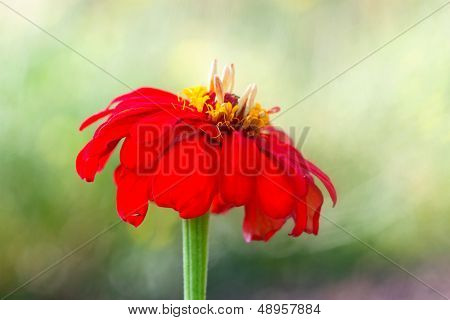 Large Red Beautiful Flower