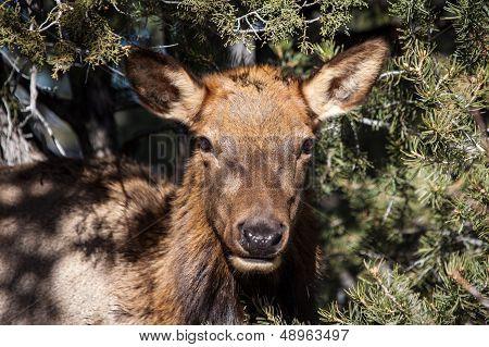 Mule Deer At Grand Canyon