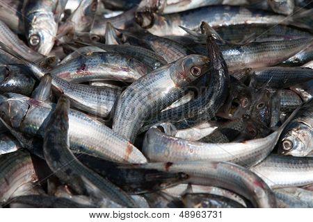 Dead Sardines