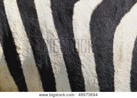 Stripes Of Zebra