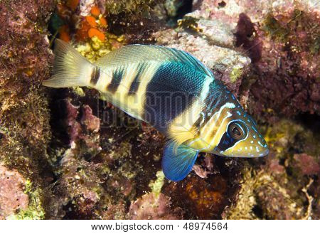 A barred hamlet swimming in the waters of Roatan Honduras.
