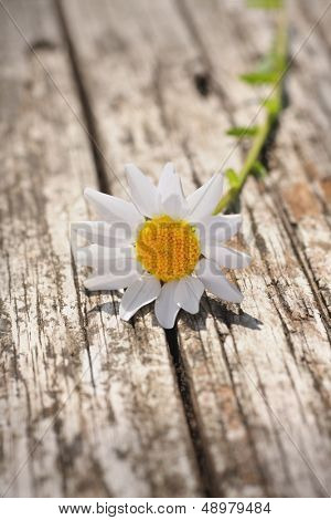 single delicate daisy sat on weathered wood