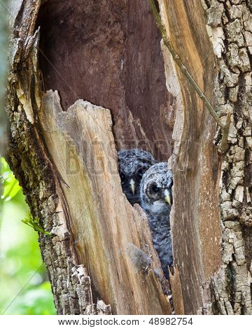Barred Owl, Juvenile