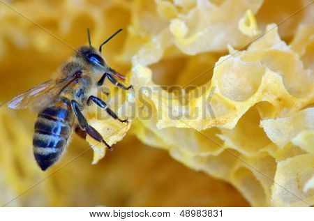 details of honey comb and a bee