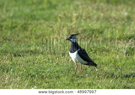 Northern Lapwing walking in meadows