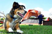 stock photo of sled dog  - A happy friendly German Shepherd dog is laying at a campground by a tent and fireplace as a baby plays in the background - JPG
