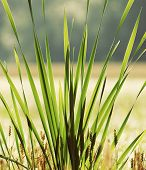 stock photo of bulrushes  - Bulrush plant on sunrise - JPG