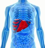 picture of liver  - human body under X - JPG