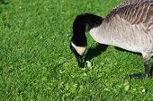 stock photo of honkers  - An adult Branta canadensis feeding on the lawn - JPG