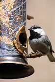 image of chickadee  - A Mountain Chickadee bird sitting on a birdfeeder - JPG