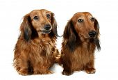 picture of long-haired dachshund  - Pair dog long - JPG