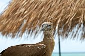 image of blue footed booby  - Red - JPG