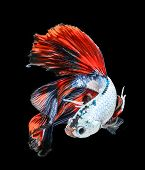 image of fishbowl  - siamese fighting fish - JPG