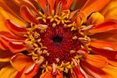 picture of zinnias  - single flower of orange zinnia  - JPG