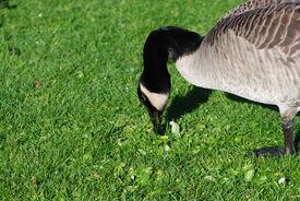 foto of honkers  - An adult Branta canadensis feeding on the lawn - JPG