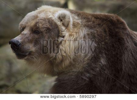 Female Kodiak Bear