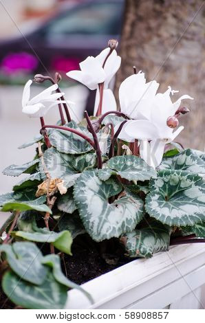 White Primula Flowers In Pot