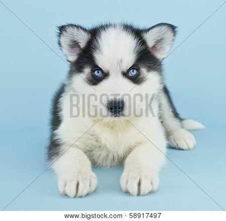 Blue Eyed Husky Puppy