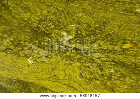 Hazardous Surface Of Green Stagnant Algae Infested Water