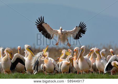 pelicans in natural habitat