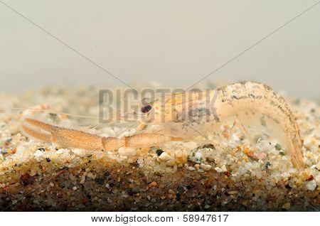 Portrait of a Crayfish