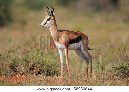 Springbok antelope (Antidorcas marsupialis) walking, South Africa