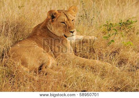 KENYA - AUGUST 9: An African Lion (Panthera leo) on the Masai Mara National Reserve safari in southwestern Kenya.