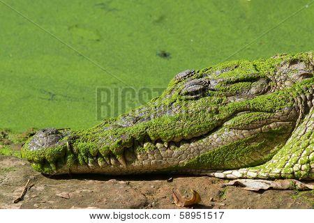Sleeping West African Crocodile