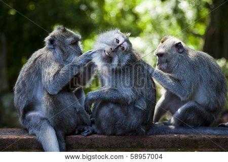 Monkeys, Bali Island, Indonesia