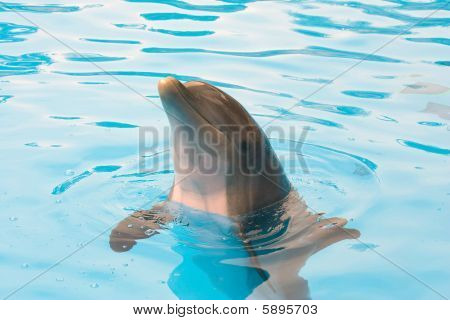 Bottlenose Dolphin Looking Out Of The Water