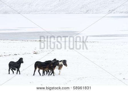 Icelandic horses in blizzard