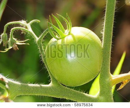 Green tomato on vine