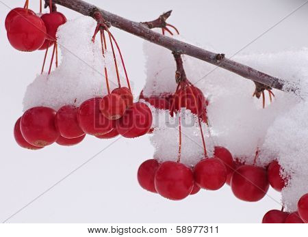 Crabapple fruit covered with snow