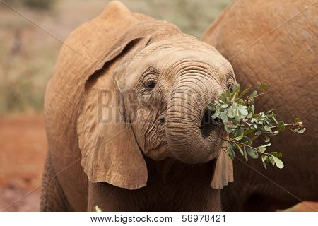 baby african elephant using trunk to eat