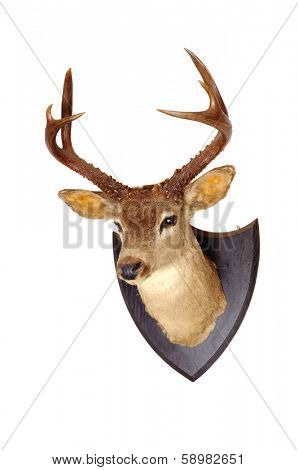 Whitetail head mount isolated on white background
