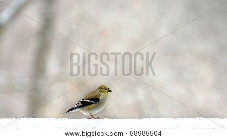 yellow finch in winter