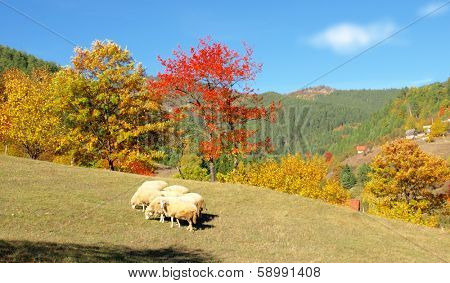 Sheep in a autumn landscape