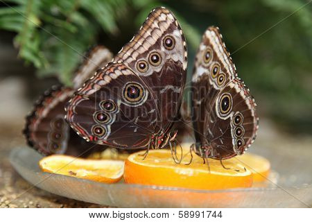 Group of Butterflies on Orange Slices