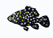 picture of grouper  - Painting with a big spotted grouper on white - JPG